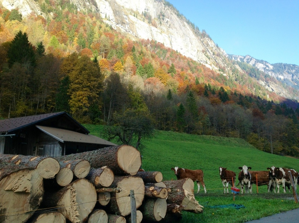 Cows on a Fall hike through the Grindelwald Valley, Switzerland