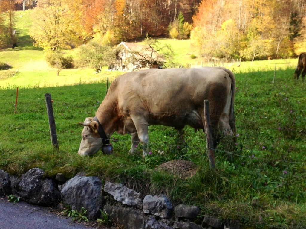 Cow with cowbell, Grindelwald Valley, Switzerland